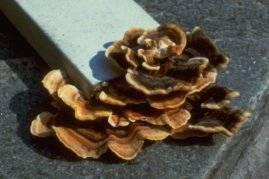 insectes à larves xylophages _ parasites su bois Ref-etat-parasitaire_clip_image048